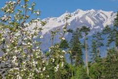 Springtime. Apple trees bearing flowers